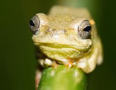 Hypno žaba