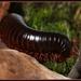 Archispirostreptus gigas