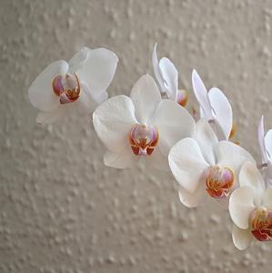 *orchidea*