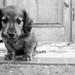 strážny pes ?