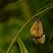 motýliková