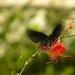 ďalšia motýliková