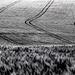 Cesty v obilí