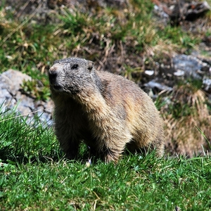 Marmota marmota (svišť alpský)