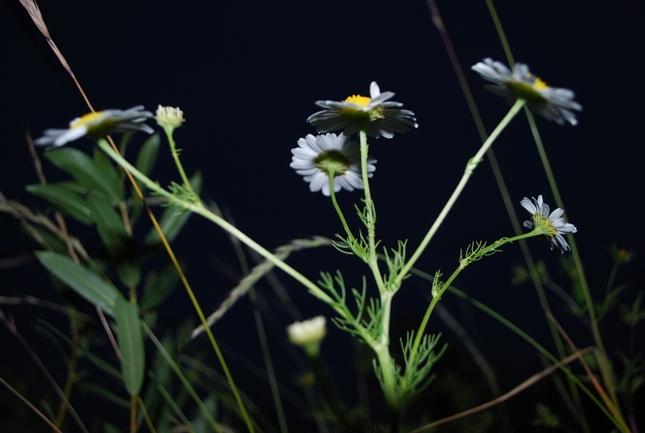 Kvety v noci 2