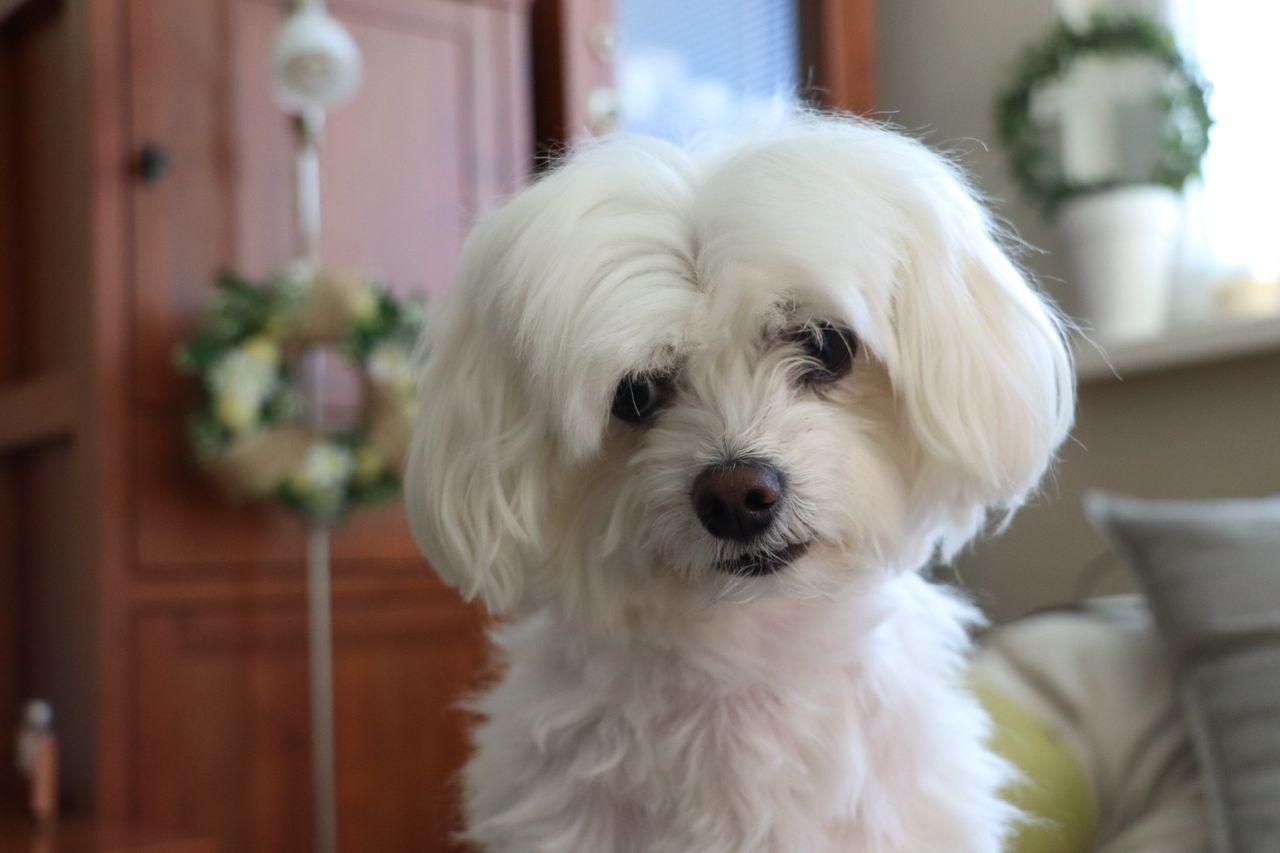 bezprízorny mini maltezák MEGY pes