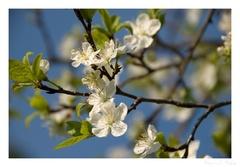 Biely kvet ...