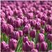 Čaro kvetu  Tulipán