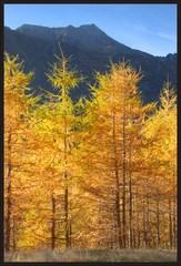 Zlatom posiate stromy