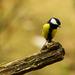 Sýkorka bielolíca