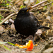 Drozd čierny (Turdus merula)