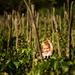 V pradedovom vinohrade ...