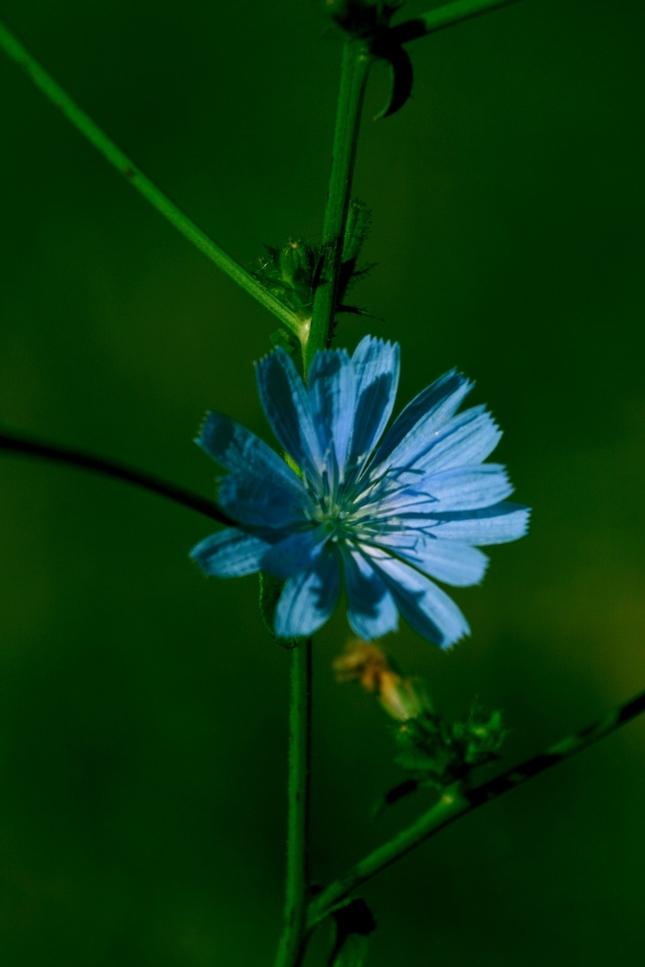poľný kvet
