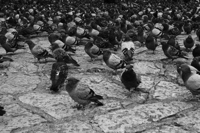 pigeon dream