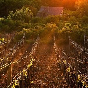 slnko vo vinici IIII
