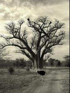 krajina baobabov III