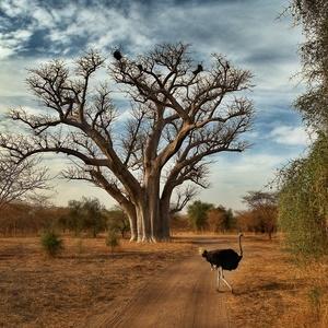 v tieni baobabov IV.