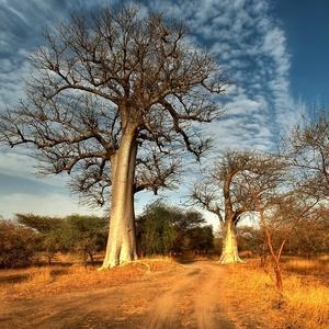 v tieni baobabov V.