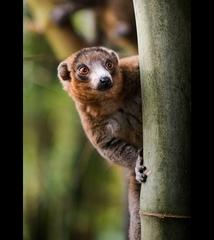 lemurko