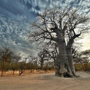 v tieni baobabov III.