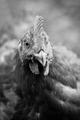 Kuře...