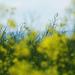 žltý sen