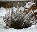 Levanduľa snežná