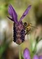 včelandula