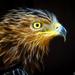 """""""bird of prey"""""""