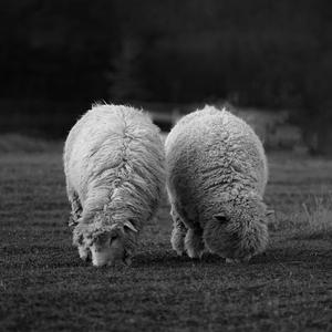 Ovečková symetria . . .
