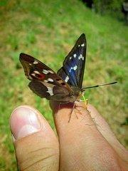 skrotený motýľ