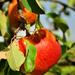 Ochranca jablka :)