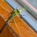 Odonata: looking in the mirror
