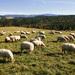 Ovce na Sans Souci