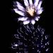 Kvet nebezký (prvomajovy ohnostr