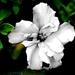 sad hibiscus