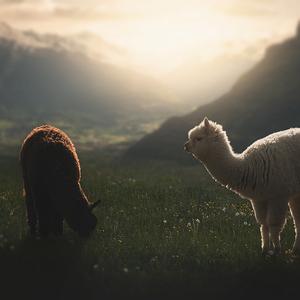 Alpaky v Alpach