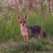 Líška-pipíška