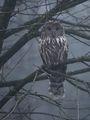 sova dlhochvostá