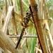Epitheca bimaculata