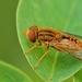 Parhelophilus cf. versicolor