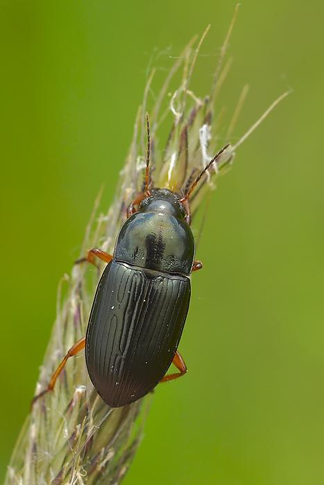 Amara chaudoiri incognita
