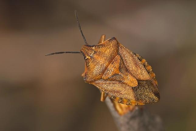 Carpocoris cf. purpureipennis