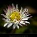 Leucanthemum vulgaris