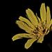 Kvetinova I