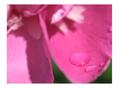 ružová