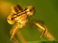 Šidlovka hnedá (Sympecma fusca)