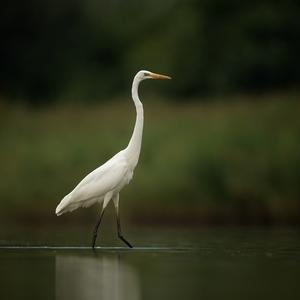 Volavka biela/Ardea alba