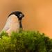 hýľ lesný - samička
