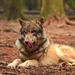 vlk obyčajny wildpark  poing